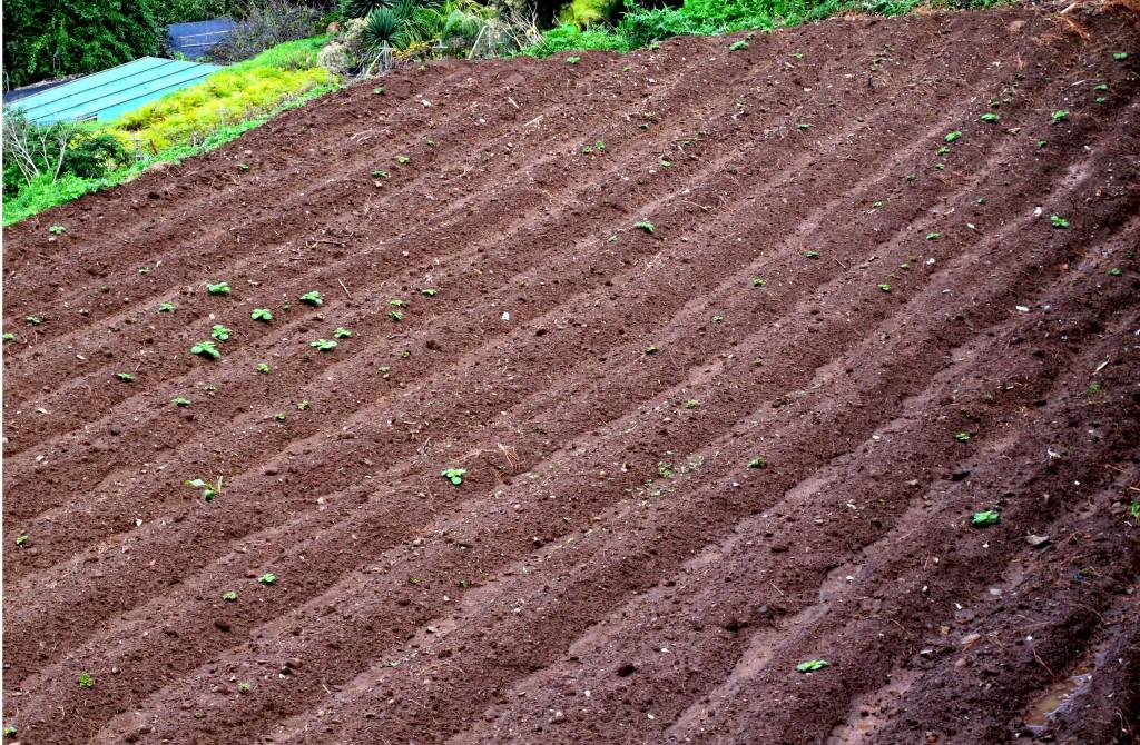 Tierra preparada para siembra de papas 2