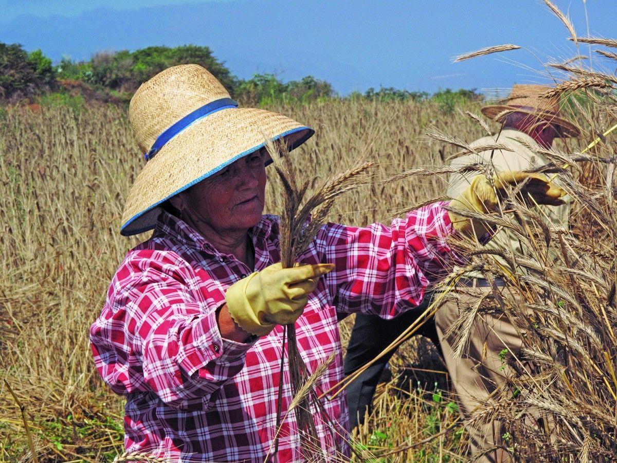 Recurso Siega Tradicional cereal Icod el Alto